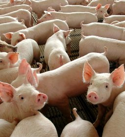 Brasil deve quebrar novos recordes na suinocultura em 2021, diz Rabobank