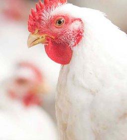 Desempenho do frango vivo em novembro e nos 11 primeiros meses de 2020