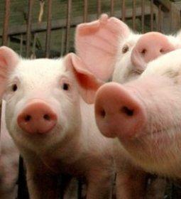 Demanda eleva preços do suíno e da carne, aponta Cepea