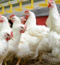 As interferências (presentes e futuras) da Covid-19 na avicultura, no ponto de vista do Rabobank