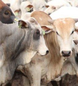 Altas nos preços no mercado do boi gordo
