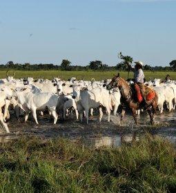 Produção de bovinos orgânicos da Korin
