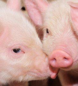 Suínos/Cepea: com queda no preço, competitividade da carne suína aumenta