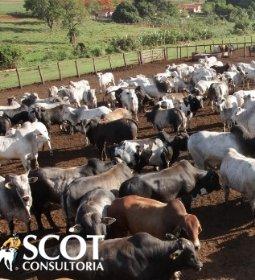 Boi gordo: altas nos preços em Mato Grosso e Tocantins e estabilidade em Rondônia
