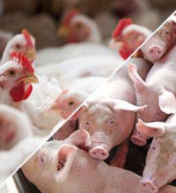 Receita de exportações de carne suína cresce 31,6% em setembro