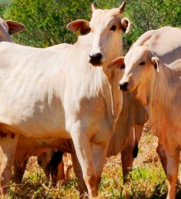 Produto para controlar estresse de bovinos chega ao Brasil