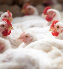 Abate de frangos atinge patamar recorde para 2º trimestre