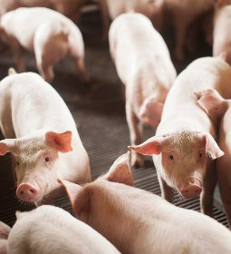 Suínos/Cepea: em meio à liquidez elevada, preços do vivo e da carne sobem