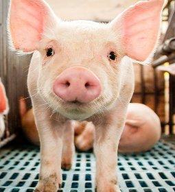 Suíno: abate trimestral continua apresentando evolução no decorrer do ano