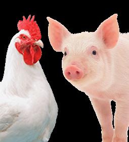Indústria de aves e suínos investiu R$ 1 bi na pandemia para manter ritmo de crescimento, diz ABPA
