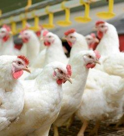 Carne de frango: Brasil mantém os mesmos 10 principais importadores de um ano atrás