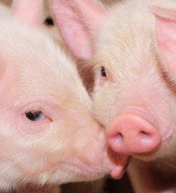 Melhoramento genético: saiba como isso influencia na qualidade da carne catarinense
