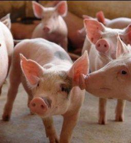 Criação de suínos em família reduz uso de antibióticos
