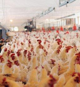 Frango/Perspec 2020: demandas interna e externa aquecidas devem manter preços firmes em 2020