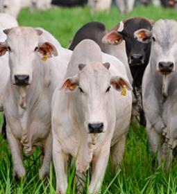 PIB-Agro/Cepea: movimento de alta segue firme, com sustentação vinda da pecuária