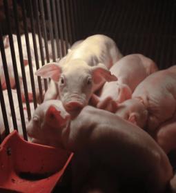 Abate de suínos chega a 11,87 milhões de cabeças no 3º tri de 2019