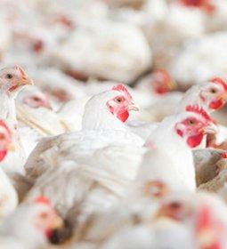 Carne de frango está mais competitiva no mercado interno