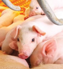 Projeções para o mercado de suínos em 2020 indicam que exportações seguirão em alta