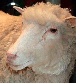 Clones da ovelha Dolly estão envelhecendo com boa saúde, aponta pesquisa