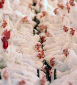 BRF mantém exportações de carne de frango, apesar dos impactos do combate ao coronavírus