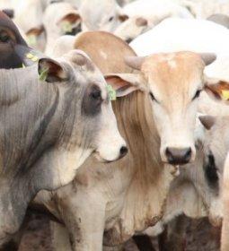Boi gordo encerra março com preços firmes