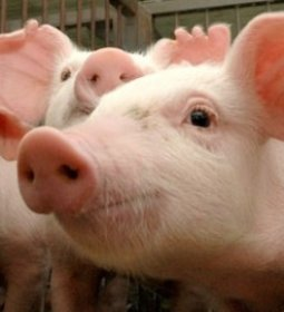 Produção de carne suína deve crescer 35% até 2029, aponta estudo da Fiesp