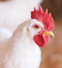 Desempenho do frango (vivo e abatido) na 27ª semana de 2020, passagem do 1º para o 2º semestre