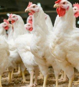 Paraná mantém-se isolado nas exportações de carne de frango, fechando semestre com 40% do total