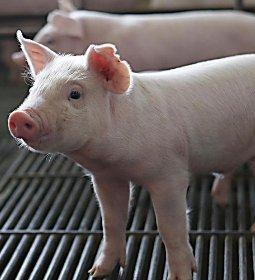 Preços do suíno sobem, principalmente, em São Paulo