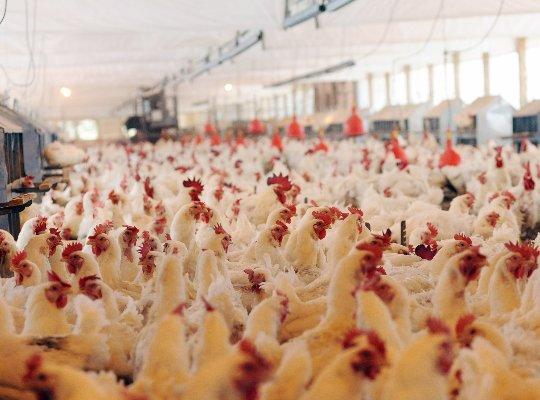 Frango/Cepea: exportação cresce em novembro; preço interno inicia dezembro em alta