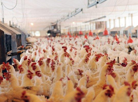 Setor de genética avícola lança marca internacional