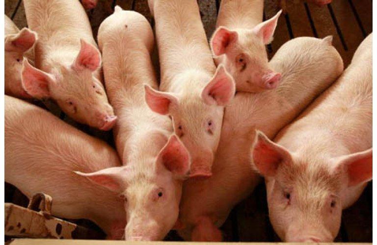 Preços do suíno seguem em alta