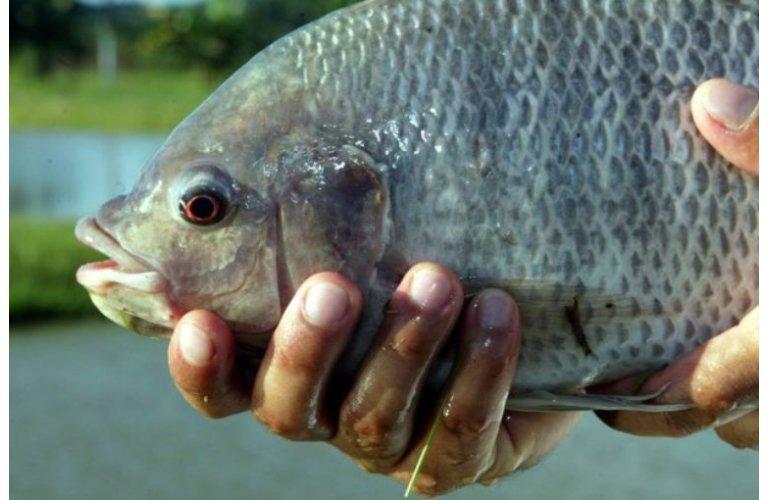 IBGE: piscicultura alcançou 529,6 mil toneladas em 2019, crescimento de 1,7% ante 2018