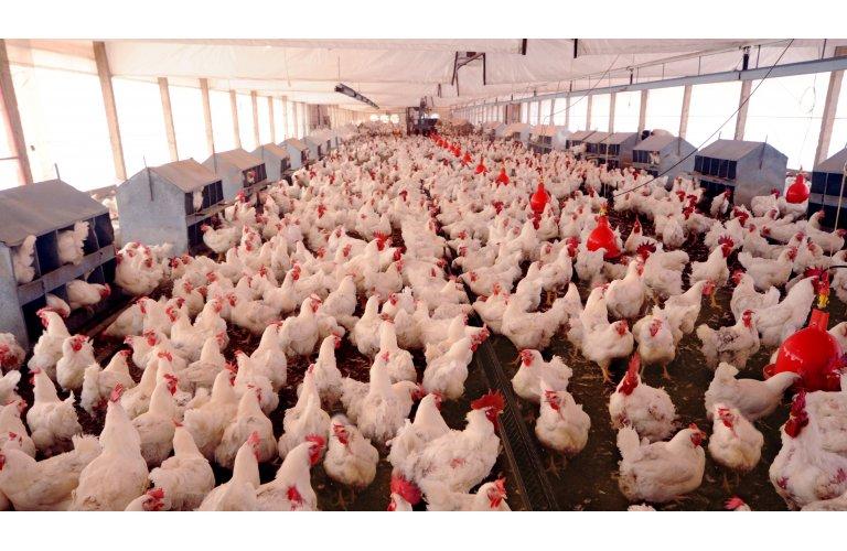 Frango/Cepea: competitividade da carne de frango frente à bovina é recorde