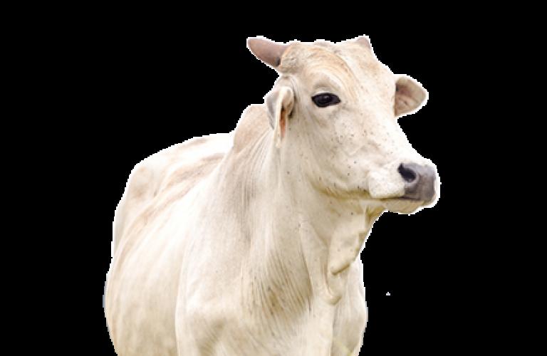 Cotação do boi gordo segue estável em R$ 300,00/@ em SP