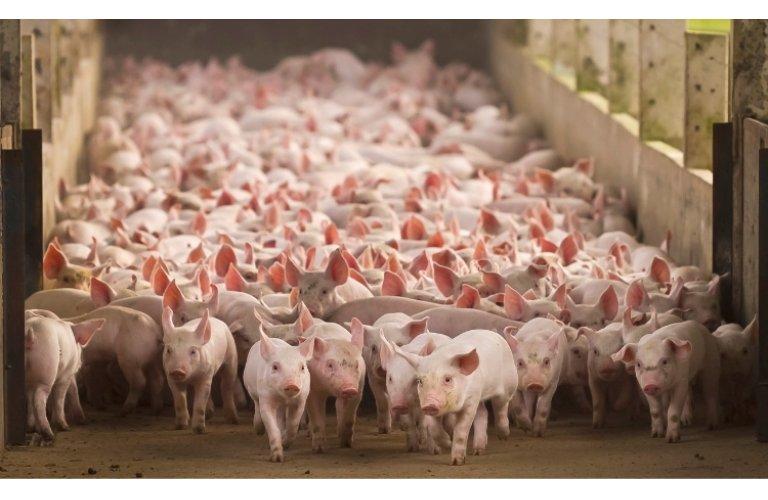 Produção de carne suína vai continuar crescendo em 2021, prevê ABCS