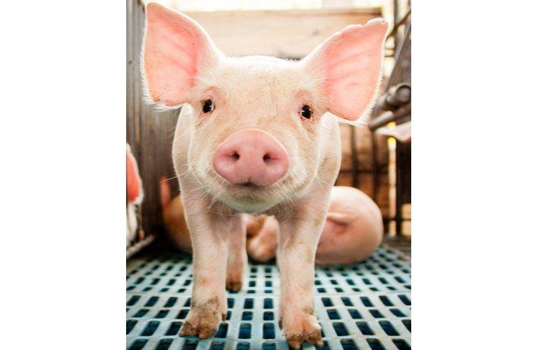 Suínos/Cepea: demanda mantém preços do suíno em alta