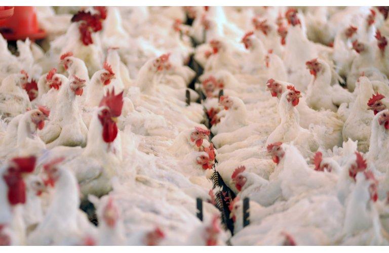 Carne de frango: primeiros resultados de junho sugerem novo recorde de embarques no mês