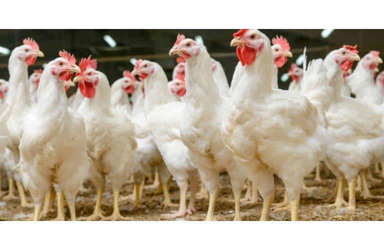 IBGE: abate de frangos sobe 3,3% no 1º trimestre/2021 ante o 1º trimestre/20