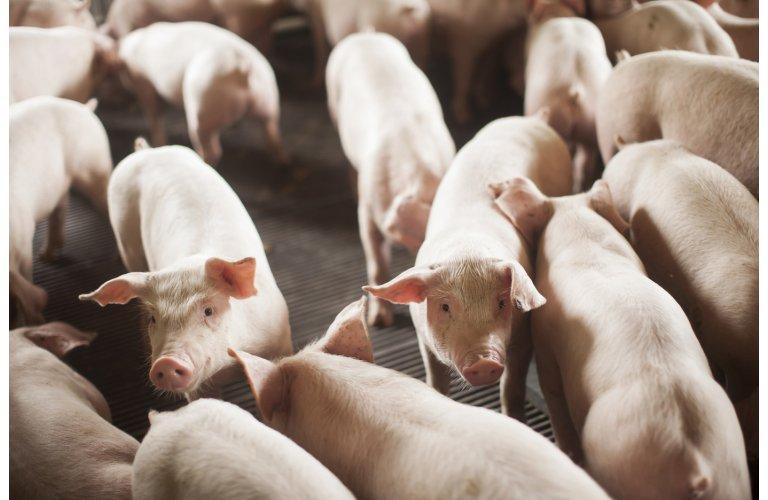 IBGE: abate de suínos sobe 5,7% no 1º trimestre/2021 ante o 1º trimestre/20