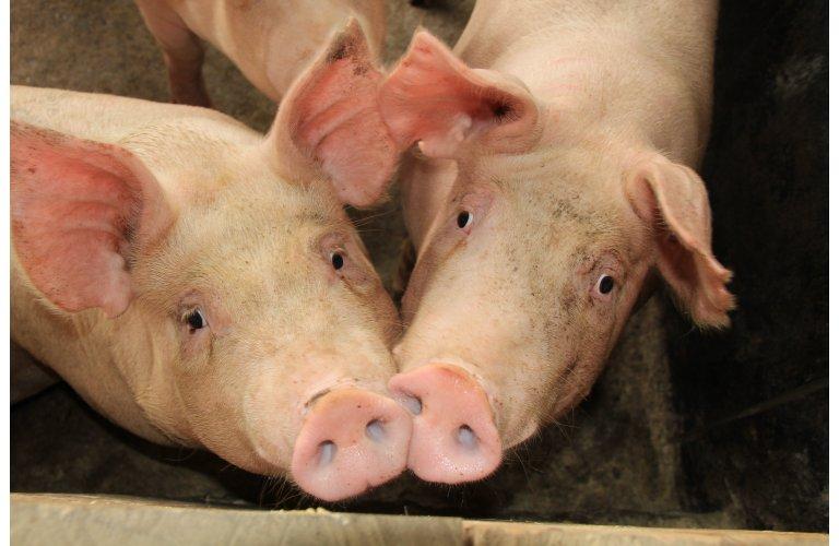 Exportações de carne suína se mantém estáveis no mês de julho