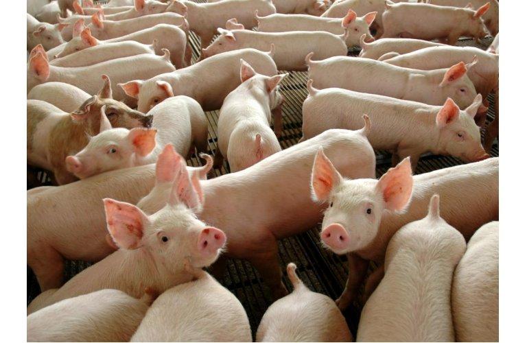 Abate de suínos bate recorde na série histórica