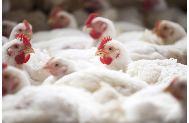 Em duas décadas, peso médio do frango inspecionado aumenta mais de 20%