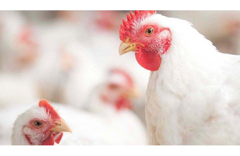 Uso de antimicrobianos cai no setor avícola americano