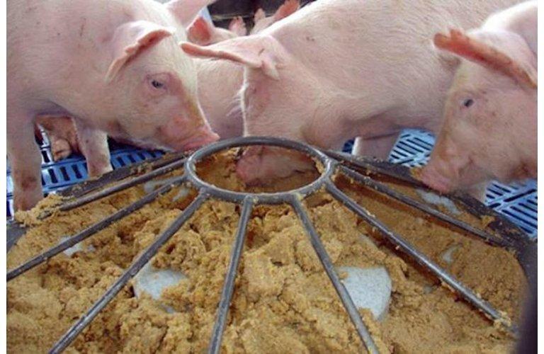 Kemin destaca tecnologia para saúde intestinal de suínos