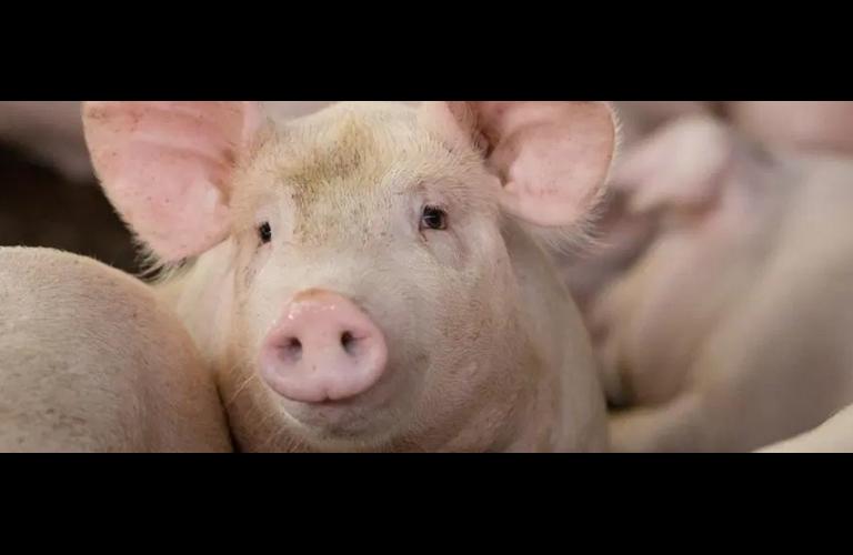 Suíno: exportações firmes elevam o preço do suíno no BR