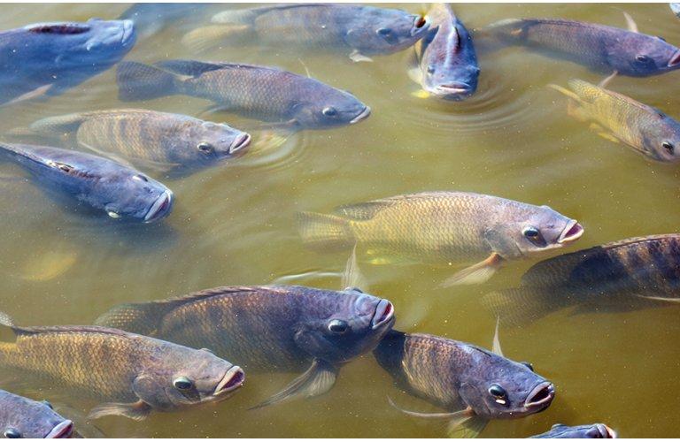 Produção de peixes de cultivo cresce 4,9% e ultrapassa 758 mil toneladas