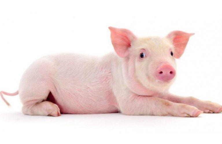 Com crescimento de 4,5%, abate de suínos bate novo recorde em 2019