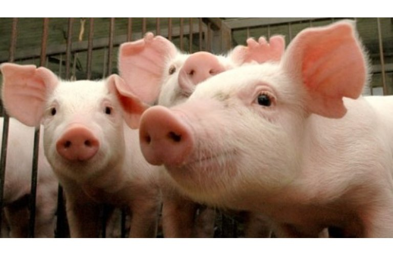 SC completa cinco anos do reconhecimento internacional como zona livre de peste suína clássica