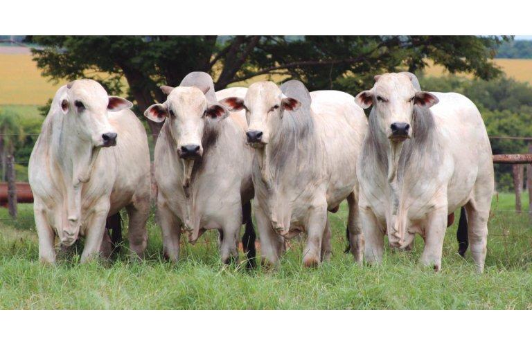 Mercado do boi gordo segue forte